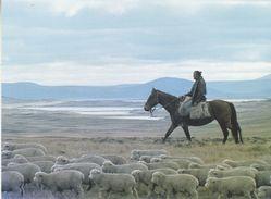 Falkland Islands Fred Coutts Driving Lambs In West Falklands  Postcard Unused (36834) - Falklandeilanden