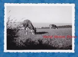 Photo Ancienne Snapshot - TREBEURDEN - Paturage - Cotes D'Armor Bretagne - Vache - Cow - Agriculture - Orte