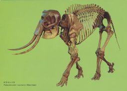 Elephant - Fossil Of Palaeoloxodon Naumanni (MAKIYAMA), National Museum Of Nature & Science, Tokyo, Japan - Elephants