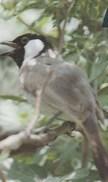 Bahrain - Bird - Pycnonotus Leucogenys - 43BAHK - Bahrain