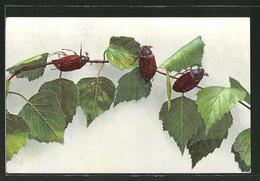 CPA Maikäfer Klettern Auf Einem Ast Lang - Insects