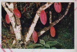 Cpm St003648  Cocoa Tree , Trinidad Arbre à Cacao , Cacaotier - Trinidad
