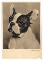 BULLDOG FRANCESE - NV   FG - Hunde