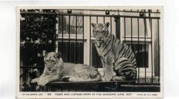 Postcard - Bristol Zoo, Tiger & Lioness Born 1937 Photo By R.Bond - Card No99  - Very Good - Postcards