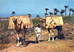 Canaries - Générique - Camellos - Chameaux - Arthur Dixon England Nº 11 - Carte Neuve - 2110 - Espagne