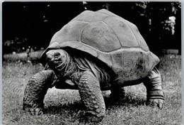 51101780 - Schildkroeten Seychellen-Riesenschildkroete - Tortues