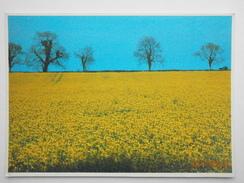 Postcard Field Of Rape Cultivation Growing Farming Oilseed Rape By John Hinde Of Dublin  My Ref B21973 - Cultivation