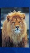 CPM LION PHOTO R SIEGEL CEDIS - Lions
