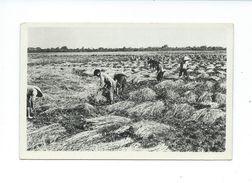 Indochine Vietnam RIZ La Récolte Des Plants CP Un Peu Vrillée Non écrite  Colonies Françaises Bien - Cambodge