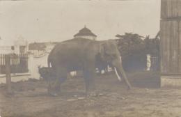 Cambodge - Siam - Phnom Penh - Protectorat Français - Colonial - Photographie Fin XIXème - Eléphant Sacré - Cambodge