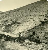 Moyen Orient Palestine Troupeau De Chevres Ancienne Stereo Photo NPG 1900 - Stereoscopic