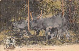 VIET-NAM - SAIGON - Les Cerfs Du Jardin Botanique - Viêt-Nam