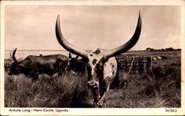 UGANDA, ANKOLE LONG - HORN CATTLE  [7274] - Ouganda