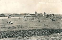 OEFFELT MAAS Paysage Vaches - Boxmeer