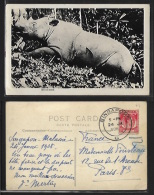 Malaysia - Rhinoceros Shot Down - Real Photo. - Malaysia