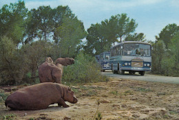 Safari Busse,Porto Cristo,Mallorca,ungelaufen - Busse & Reisebusse