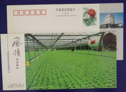 Vegetable For Hong Kong,Boston Lettuce,deep Pool Floating Board Water Cultivation Technology,Holland Heater,CN 04 PSC - Legumbres