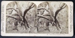 Photo Stéréoscopique STEREO Stereoview - Black Rubber Tree - Arbre De Caoutchouc Noir - Florida Floride USA - Photos Stéréoscopiques