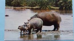 CPSM HIPPOPOTAMES ANIMAUX EN LIBERTE YVON N° 2 PHOTO FIEVET - Hippopotames