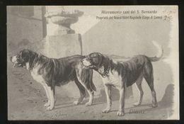 REGOLEDO - FRAZIONE DI PERLEDO (LECCO) - 1909 ALLEVAMENTO CANI SAN BERNARDO - RARA!!! - Dogs