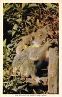 CPSM  THE AUSTRALIAN KOALA - Australie