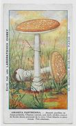Chromo Champignon Mushroom 12,5 X 7,5 Texte Explicatif Au Dos - Trade Cards