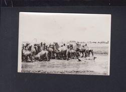 Saudi Arabia Original Photo Camels Bathing In Crude Oil Jeddah (?) 1950s - Saudi Arabia
