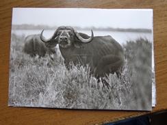 Kaffernbuffel (planet Verlag Berlin) --> Unwritten - Animals