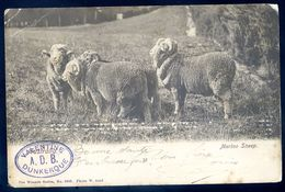 Cpa  Australie Australia Merino Sheep   SEP17-42 - Altri