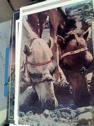ESPANA LANZAROTE CANARIE CAVALLI HORSES ALLA FONTE N1975  GH16870 - Cavalli