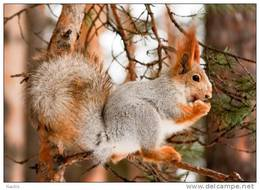 New Postcard, Postkarte, Carte Postale, Animal, Tier, Animale, Squirrel - Animals