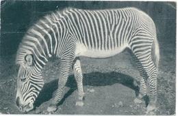 ZEBRE ZOO DU BOIS DE VINCENNES PARIS - Zebra's