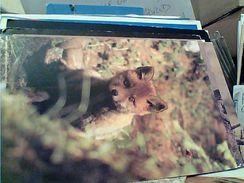 VOPE FOX  N1980  GH16882 - Animaux & Faune