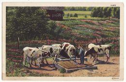 Giving Water To Cattle, American Farming Rural Scene 1940s Linen Vintage Curt Teich Postcard M8565 - Breeding