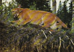 Canada British Columbia Williams Lake Mountain Lion Paul Sissons