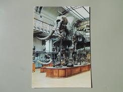 PARIS GALERIE DE PALEONTOLOGIE MUSEUM NATIONAL D'HISTOIRE NATURELLE ELEPHAS MERIDIONALIS QUATERNAIRE INFERIEUR DU GARD - Museos