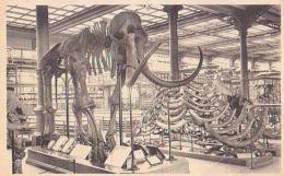 Bruxelles   1133          IRSNB. Slle Des Vertébrés ( Mamouth  ) - Musées