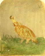 Angleterre Faisan Pinnated Grouse Ancienne Stereo Photo 1860 - Stereoscopic