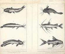 4 Planches Zoologiques: Poissons (pl. 37,38,87,88): Silure, Cobie, Pimélode... - Planches & Plans Techniques