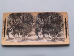 COCOANUT TREES Et Lake Worth Fla ( 858 ) Stereo Photo IMPERIAL SERIES ( Voir Photo Pour Detail ) ! - Photos Stéréoscopiques