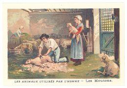 Chromo : Les Animaux Utilisés Par L'homme : Les Moutons ( Laine, Tonte ) - Autres