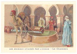 Chromo : Les Animaux Utilisés Par L'homme : Le Chameau - Autres