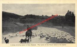 A Sheep Droving Scene In New Zealand - Nouvelle-Zélande