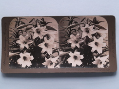 Consider The LILIES, How They Grow ............... () Stereo Photo American Stereoscopic ( Voir Photo Pour Detail ) ! - Photos Stéréoscopiques