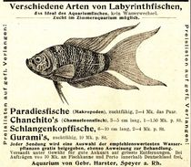 Original-Werbung/ Anzeige 1897 - LABYRINTHFISCHE - GEBRÜDER HARSTER - SPEYER - Ca. 90 X 80 Mm - Publicités