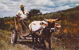 TRINIDAD & TOBAGO : Sugar Estates ( Attelage Boeuf ) Caribbean Caraïbes West Indies Antilles - CPSM PF - Caribe Cara - Trinidad