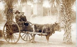 St Augustine FL US - Bull Carriage Wagon 1909 - St Augustine