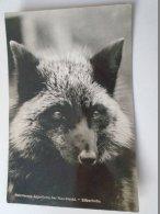 D154606 Peltztierzoo ZOO Appelburg Bei Plau/Meckl.  Silberfuchs  Fuchs  Fox  Renard - Animaux & Faune