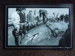 Cancale , Requin Pélerin échoué Dans Les Parcs à Huitres Le 09/03/97 - Cancale