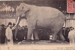 37 TOURS. CPA. L'ELEPHANT FRITZ MORT A TOURS LE 11 JUIN 1902. OFFERT AU MUSÉE DE TOURS. AFFRANCHIE 1905 - Tours